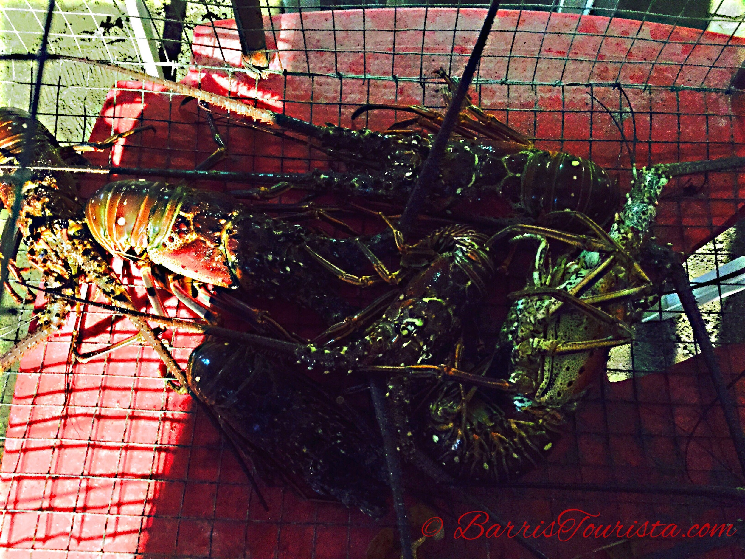 BarrisTourista-Martinique Live Lobster